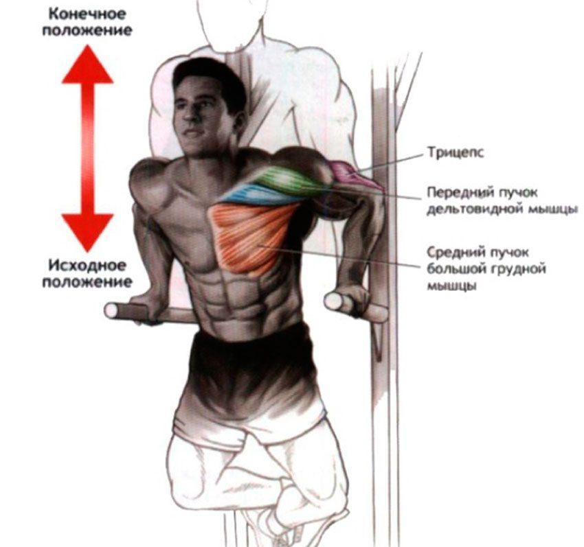 Мышечная анатомия