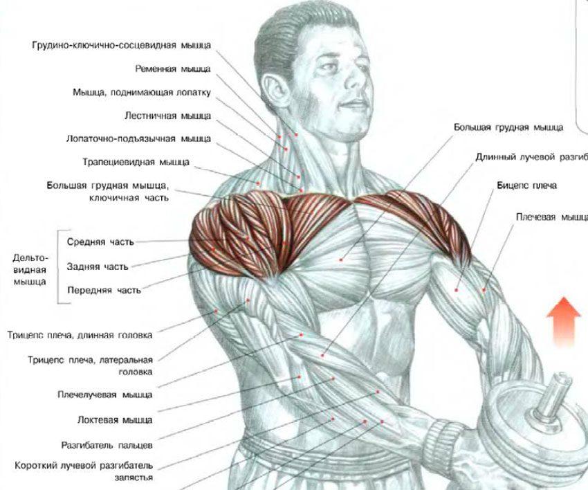 Упражнения на верхнюю часть грудных мышц и передних дельт