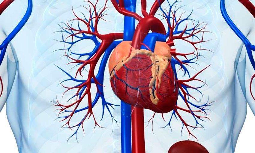 Протеин и сердечно-сосудистая система