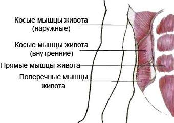 боковые мышцы пресса анатомия