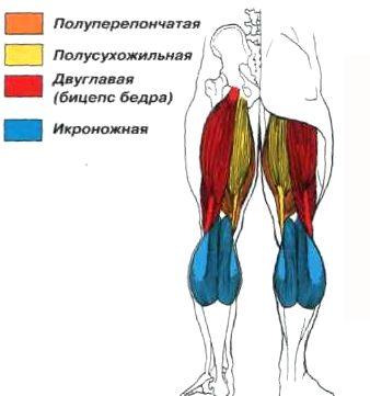 бицепс бедра анатомия