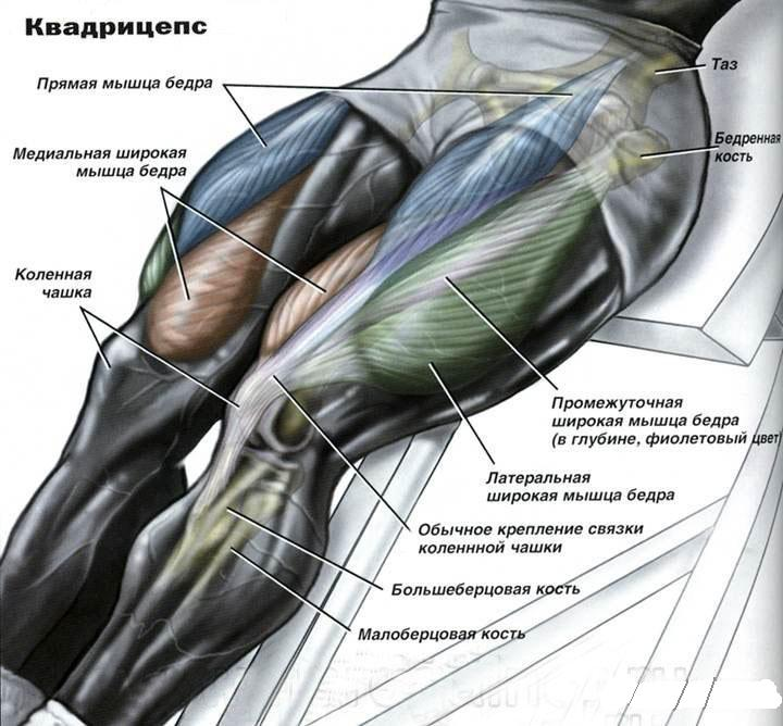 квадрицепс анатомия
