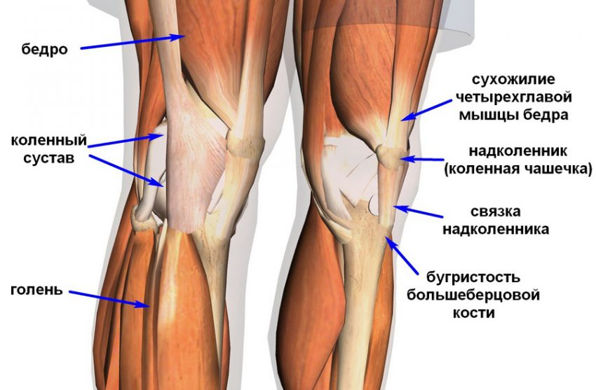 колени анатомия