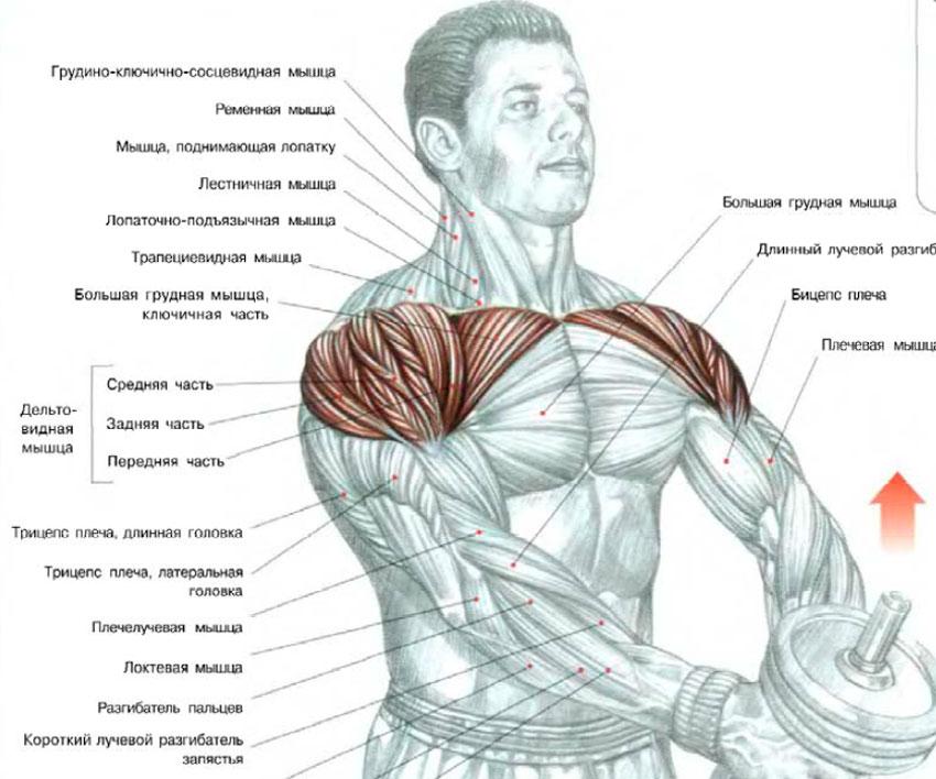 Как накачать мышцы одними гантелями в домашних условиях