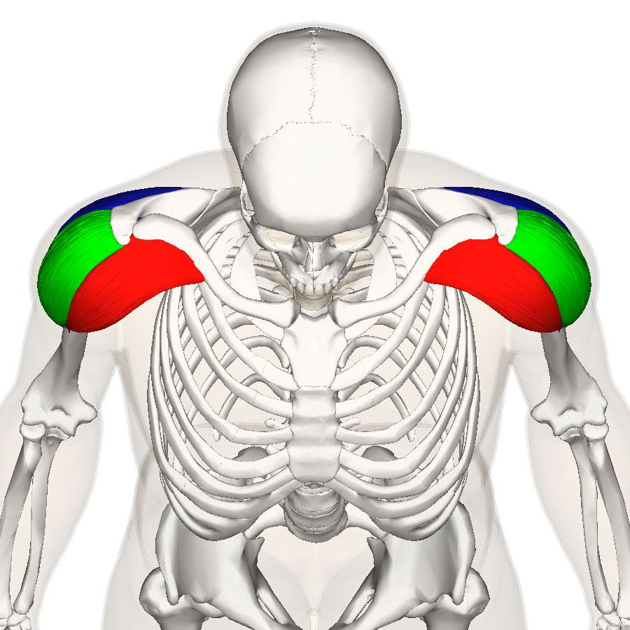 Плечо состоит из трех основных мышц