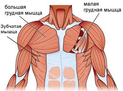 грудные мышцы анатомия