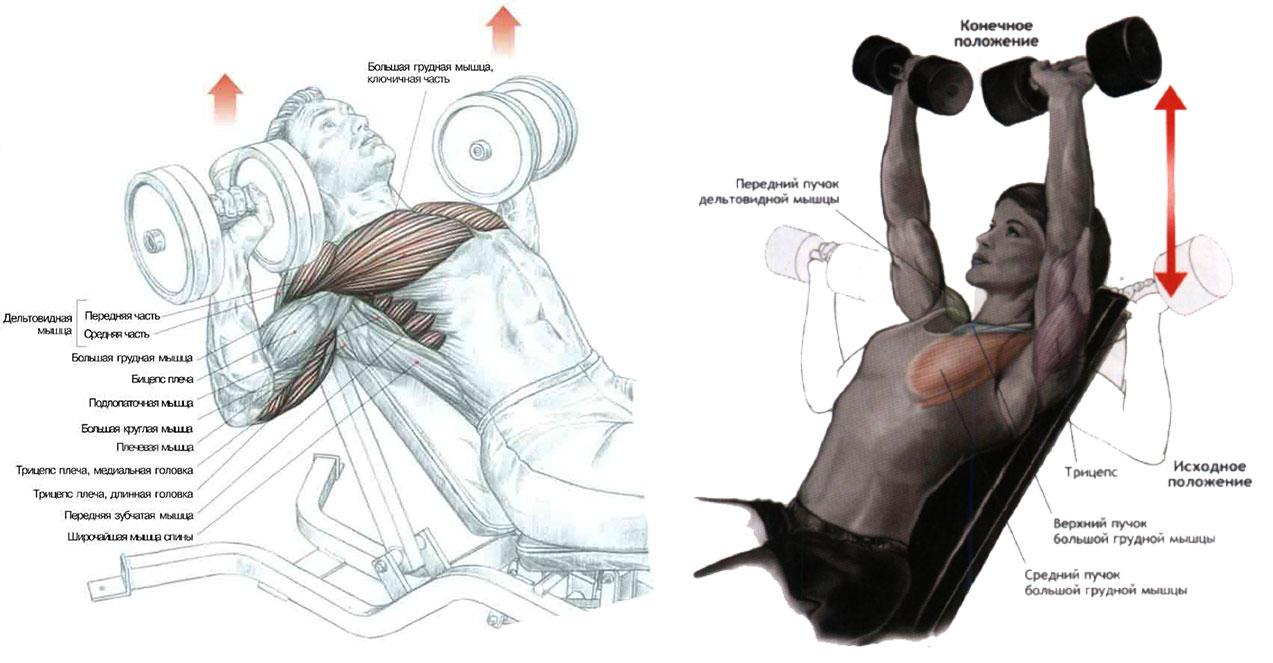 Увеличение грудных мышц в домашних условиях