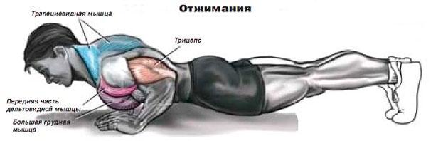 отжимания от пола анатомия