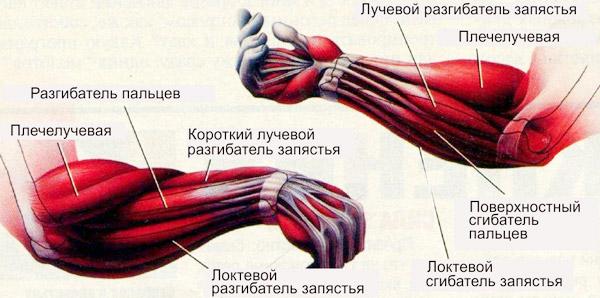 предплечье анатомия