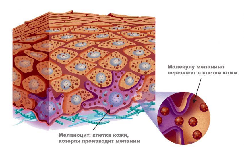 Функции меланина в организме